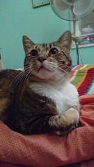 Miss Xica (angeliquita) Tags: gatos cats pets mascotas kitty kitten cute feline xica tabby atigrado motorolaxt1068 eyes