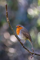 A quizzical look (Treflyn) Tags: robin bird wild wildlife back garden earley reading berkshire uk