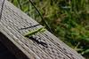 Praying Mantis (andieharsany) Tags: bug prayingmantis bugs animal yosemite valley yosemitevalley california