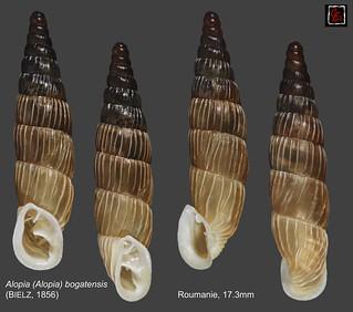 alopia (alopia) bogatensis roumanie 17mm3