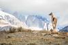 Guanaco Peak (jeff_a_goldberg) Tags: patagonia nature torresdelpainenationalpark torresdelpaine naturalhabitatadventures nathab guanaco chile amarga regióndemagallanesydelaan regióndemagallanesydelaantárticachilena cl wildlife
