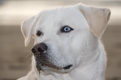 White Goberian Blue with a Sandy Nose - Nikon D750 - AFS Nikkor 28-300mm 1:3.5-5.6G VR (divewizard) Tags: nikond750 nikon d750 dslr fx afsnikkor28300mm13556g afs nikkor 28300mm 13556g vr f3556 zoomlens zoom lens 28300mmf3556gvr sb500 nikonsb500 chrisgrossman handsomedog happydog portrait bigdog blue goberian goldenhusky goldsky whitedog dog whitegoberian cooksbeach gualala mendocinocounty california beach sand wetsand pacificocean perro cão chien hund 犬 собака 狗 hond כלב الكلب σκύλοσ heterochromiairidum heterochromia bokeh