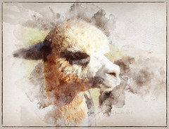 Nature's beauty is a gift that cultivates appreciation and gratitude. (Louie Schwartzberg) (boeckli) Tags: alpaca sevenstyles mixedmedia tier tiere animal animals outdoor fur furry fell textures texturen texture textur watercolor watercolour wasserfarben fauna tanglinlodge tennyson newsouthwales australia photoborder
