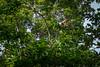 Bright colored male green iguana (Iguana iguana) or the American iguana, resting on the tree branch (tvrdypavel) Tags: americaniguana amphibians animal arboreal caribbean centralamerica colored costarica dewlap diurnal endangered gorrobo herbivor iguana lizard manzanillo parietaleye photosensoryorgan pinealeye pinealgland reptile saltgland species spines thirdeye tortuguero