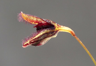 Hairy mouthed orchid (Pleurothallis trichostoma) flower