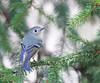 Friday the 13th and the Ruby-Crowned Kinglet (glenda.suebee) Tags: kinglet rubycrownedkinglet ruby crowned ohio spruce spring 2018 glendaborchelt ohiofoothills explore