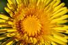 Dandelion (Rick & Bart) Tags: garden tuin nature macro rickvink rickbart canon eos70d flower weed dandelion spring lente