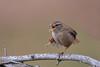 Wren (Mike Slade.) Tags: wren troglodytestroglodytes bird devon uk ©mikeslade