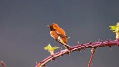 Leeson-180408-1615.MOV_Rendered (Melanie Leeson) Tags: naturevideo video rufoushummingbirdvideo rufoushummingbird melanieleesonwildlifephotography blingsister hummingbird birdsofbc