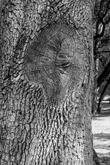 Have a Scar? (string_bass_dave) Tags: ca sodabay kelseyville clearlake tree california bw clearlakestatepark blackandwhite flickr unitedstates