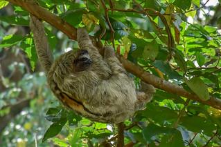 Sloth / Luiaard