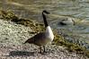 Goose on the shore of Derwent Water (Louisa Rose Mack) Tags: goose animal nature nationaltrust derwentwater swallowsandamazons wildlife england uk cumbria lakedistrict northernengland lakes thelakes