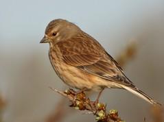 Linnet (Peanut1371) Tags: linnet bird finch nationalgeographicwildlife