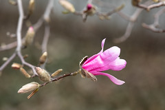 Gift of Spring (Ben-ah) Tags: spring flower magnolia nybg newyorkbotanicalgarden