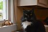 Batman (rootcrop54) Tags: batman tuxedo male longhair longhaired furry golden eyes kitchen window neko macska kedi 猫 kočka kissa γάτα köttur kucing gatto 고양이 kaķis katė katt katze katzen kot кошка mačka gatos maček kitteh chat ネコ