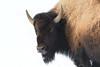 Bison stare (adbecks) Tags: yellowstone bison stare nikon d500 200500 wildlife mt wy