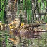 Ducklings thumbnail