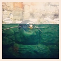 ehi, look at me! (Maluni) Tags: valencia espana spagna spain acquario acquarium water acqua sea mare pinguin pinguino