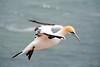 Basstölpel (victorlaszlo73) Tags: helgoland inseln see sea frühling spring