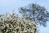 PrintempsStE_20180422_010 (Bourgeois Jean) Tags: france bretagne finistere automne canon canon5d jeanbourgeois arbre ciel canon5dmk2 pommes érable pommier