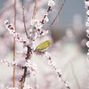 Japanese white-eye and plum blossoms (Big Ben in Japan) Tags: japanesewhiteeye bird green mejiro plumblossoms ume