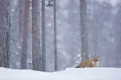 Red Fox (Daniel Trim) Tags: vulpes red fox mammal sweden kalvträsk skellefteå skellftea conny lundstrom lundström hides photography nature animals northern winter snow snowy