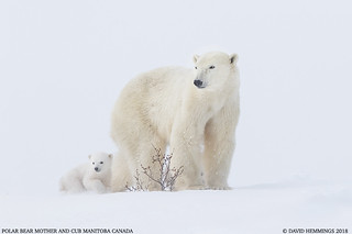 Polar Bear Mother & Cub
