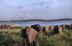 Kaudulla National Park  Sri Lanka (175) -1 (Gerard Koopman) Tags: kaudullanationalpark srilanka