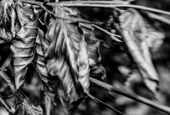 Beech Leaves (judy dean) Tags: judydean 2018 leaves beech blackandwhite lensbaby blur