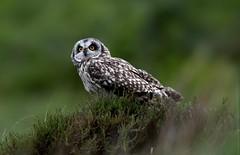 Seo (davy ren2) Tags: owl eared short mull of isle photograthy wildlife nature d500 nikon