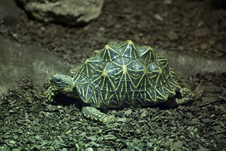 Tartaruga Estrela Indiana (Geochelone elegans) - Indian Star Turtle!