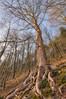 Wurzeln - Bad Schandau (www.politik-sind-wir.de) Tags: baum krone wurzeln wurzel holz wald bäume