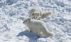 Arctic foxes (jklaroche) Tags: arcticfox parcomega