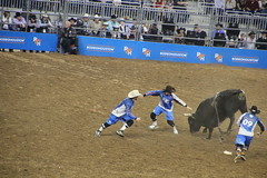IMG_2698 (melodavis@sbcglobal.net) Tags: rodeohouston 2018 rodeo livestock heifer farmlife steer saddlebronc bronc bull bullriding calfscramble alpaca