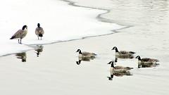 kinship (DeZ - photolores) Tags: guelphcanada royalcitypark reflection river geese water winter hdr nikon nikone8700 dez ngc