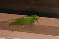 Tettigoniidae sp. (dhobern) Tags: 2018 china march xtbg xishuangbanna yunnan orthoptera tettigoniidae