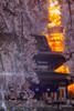 Cherry blossoms and Tokyo Tower (703) Tags: japan pentaxk3ii spring tokyo tokyotower zojoji cherryblossom cityscape flower night nightscape nightscene nightview pink sakura temple さくら サクラ ピンク 増上寺 夜景 日本 春 東京 東京タワー 枝垂れ桜 桜 花 港区