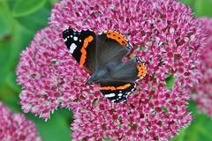 Admiral (Hugo von Schreck) Tags: hugovonschreck butterfly schmetterling macro makro falter insect insekt canoneos5dsr tamron28300mmf3563divcpzda010 fantasticnature
