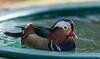 mandarin duck (paul hitchmough photography 2) Tags: duck mandarinduck wildlife nature bird southport uk paulhitchmoughphotography nikond4s nikonphotograhy nikon2470mm