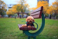 我家小可愛 (藍大衛) Tags: 寵物 狗 景深 戶外 動物 貴賓狗 紅貴賓 黃花風鈴木