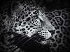 Jaguar (Southern Darlin') Tags: jaguar cat feline predator closeup black white bw panthera onca monochrome rosette animal wildlife wild photography photo canon solitary
