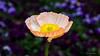 细腻如绢的花 (幻影留梦) Tags: gibbs garden early spring flower poppy papaveroideae colors georgia south living sony fe 24105mm f4 g oss lens sel24105g