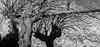 Winter shadow (Ignacio Ferre) Tags: blancoynegro blackwhite bw monocromo monocromático monochrome árbol tree sombra shadow nikon italy italia panorama invierno winter rama planta vegetal