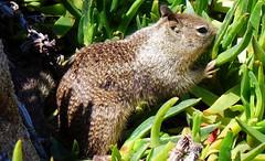 ~Time To Eat~ (~☮Rigs Rocks☮~) Tags: rigsrocks californiagroundsquirrel monterey centralcoast spanishbay iceplant seventeenmiledrive pacificgrove dontitmakesmybrowneyesblue
