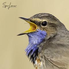 blauwborst-0221 (Sjors loomans) Tags: nature natuur bird birds natuurfotografie outdoor vogel wildlife sjors loomans holland blauwborst bluethroat luscinia svecia songbird