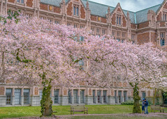 Cherry Blossoms (FollowingNature (Yao Liu)) Tags: sakura flowers followingnature seattle universityofwashington cherryblossoms