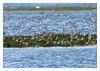 Crowded... (Joao de Barros) Tags: joão barros bird nature wild sanderling