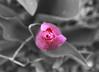 tulip (ajbelow27) Tags: tulip garden plant botamy science nature pink rosy rose rosé magenta carnation princess petals centar outside slipper ballet blush salmon watermelon lemonade flamingo fuschia taffy punch rouge strawberry bubblegum selective