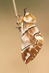 Gevlamde Vlinder - Endromis versicolora - Kentish Glory (merijnloeve) Tags: gevlamde vlinder endromis versicolora kentish glory rozendaal heideterrein ge arnhem golfterrein delhuijzen gemeente moth apeldoorn veluwe nachtvlinder mothwatching moths nachtvlinders spinner macro owl heide
