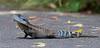 Gippsland Water Dragon (aaardvaark) Tags: 201701091d0057 waterdragon72x3062x28 waterdragon72x3017x17 waterdragon australianwaterdragon gippslandwaterdragon intellagamalesueuriihowitti anbg canberra australia